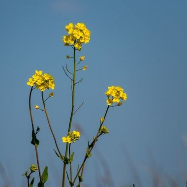 Rapeseed detail with the blue sky as background