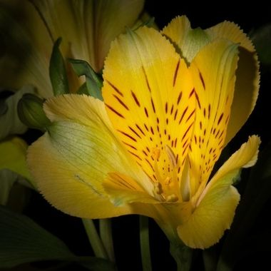 Alstroemeria, photo taken with off camera flashlight.