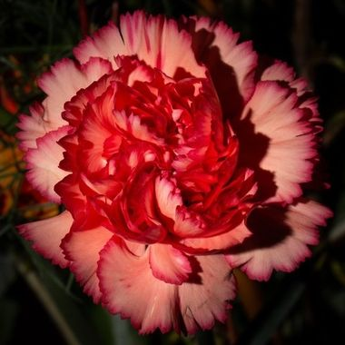 Carnation, photo taken with off camera flashlight