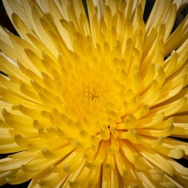 Dahlia, photo taken with off camera flashlight