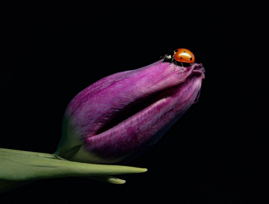 """""""Tulip Exploration"""""""