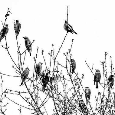 Cedar Wax Wings in MONO