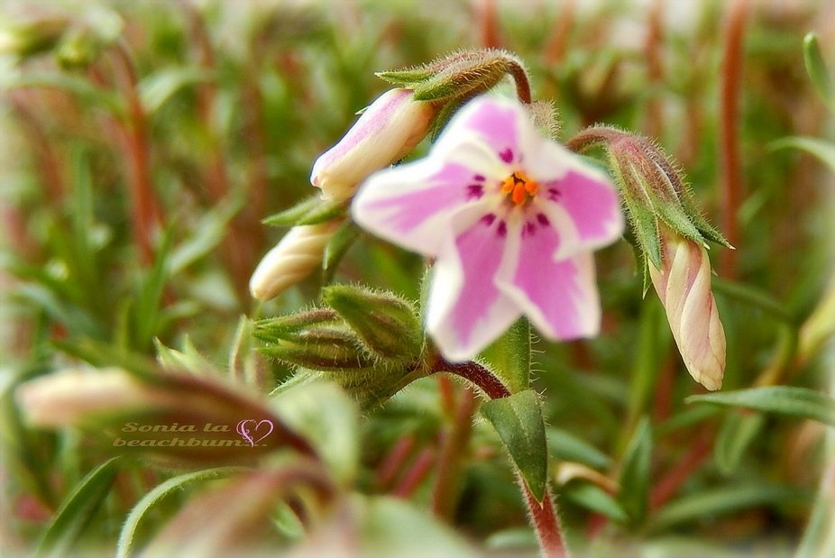 These small flowers are beautifully pink & offers a very delicate perfume that makes my s...