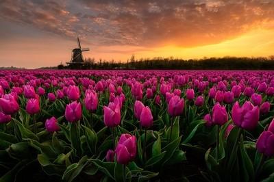 Amazing sunsrise among the purple tulips