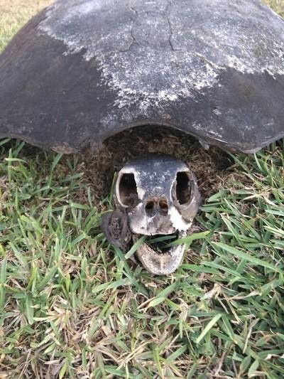 Turtle's Cadaver