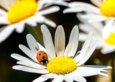 Ladybug on a Daisy...