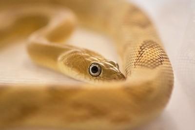 Trans-Peco Rat Snake