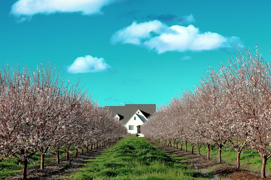 A shot taken in Davis, California of an almond orchard and a farm house.