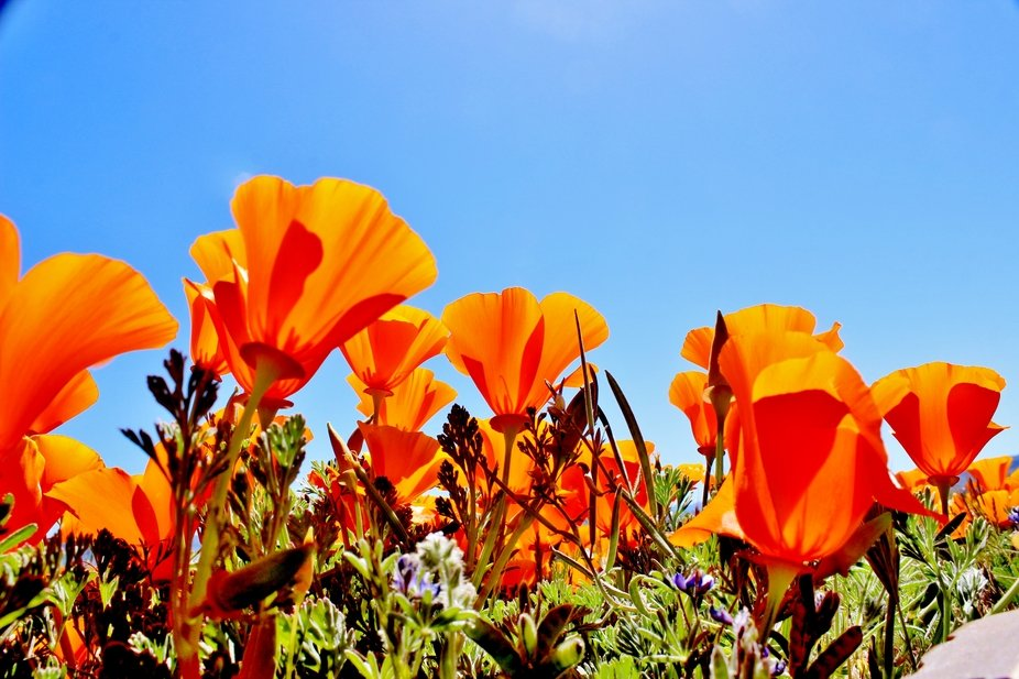 Poppies From a Bug's Point of View