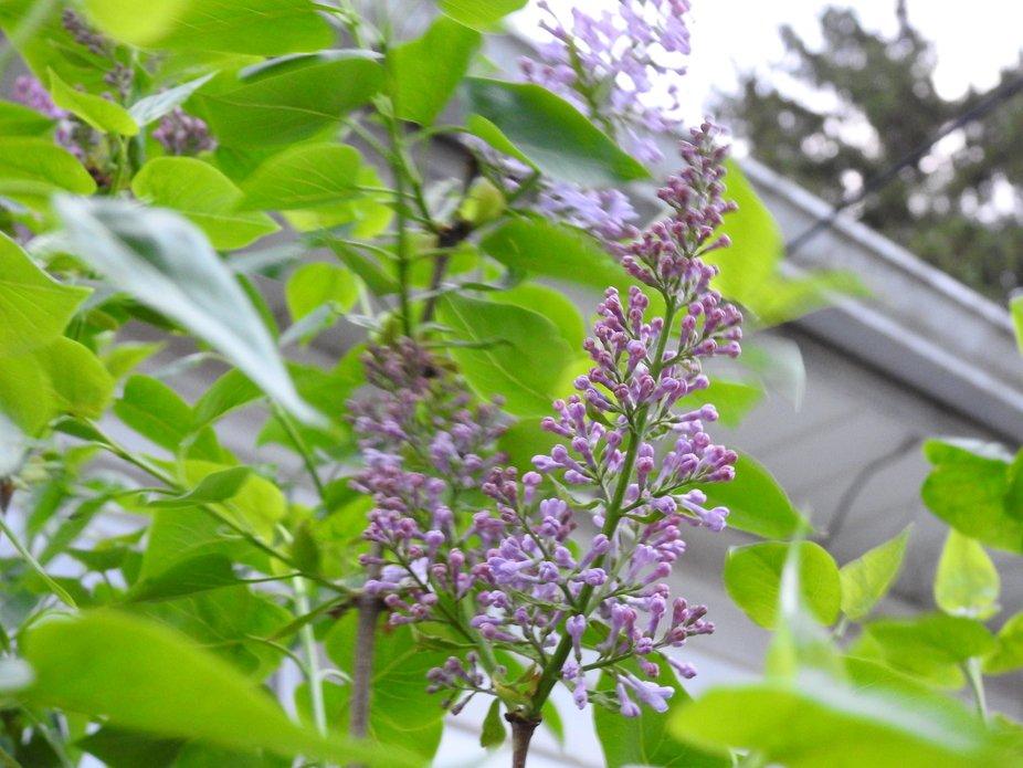 Lilac n Green