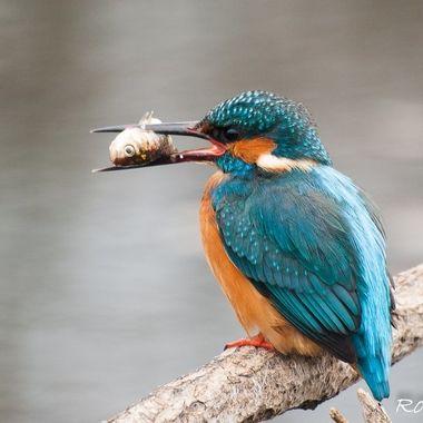 Martin pescador (King fisher). Desde un hide. Charca del Cabaco.Sierra de Francia.Spain