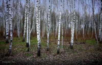 a birch grove in spring...
