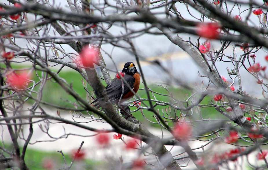 Spring is back!  I love to see the first robins in my yard!