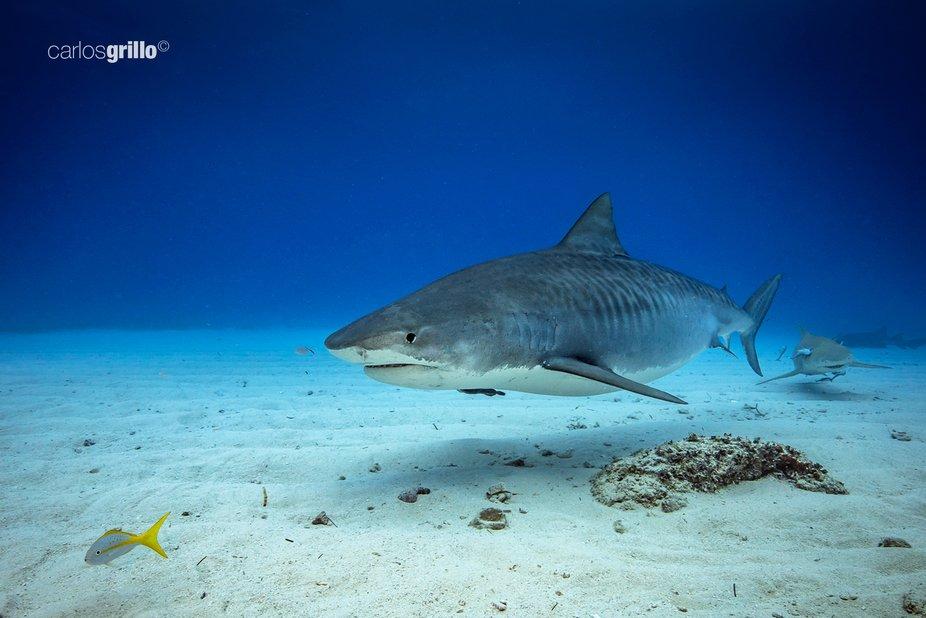 Tiger Shark. Tiger Beach, Bahamas.