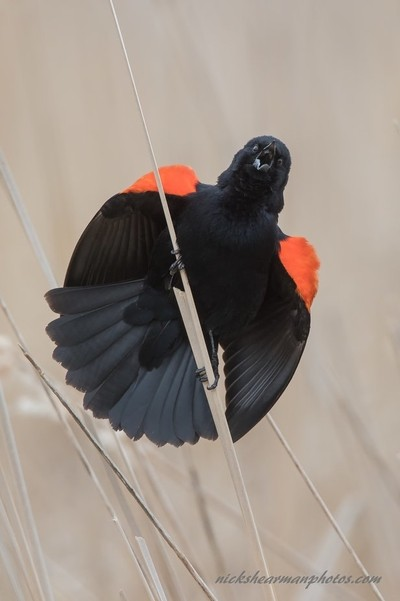 6X3A0559-Male Red wing Blackbird displaying