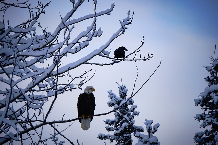 Eagle and Crow