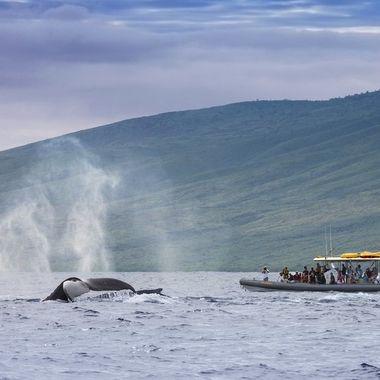 Humpback Whale Watching, Maui, HI