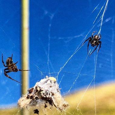 Spider convention!