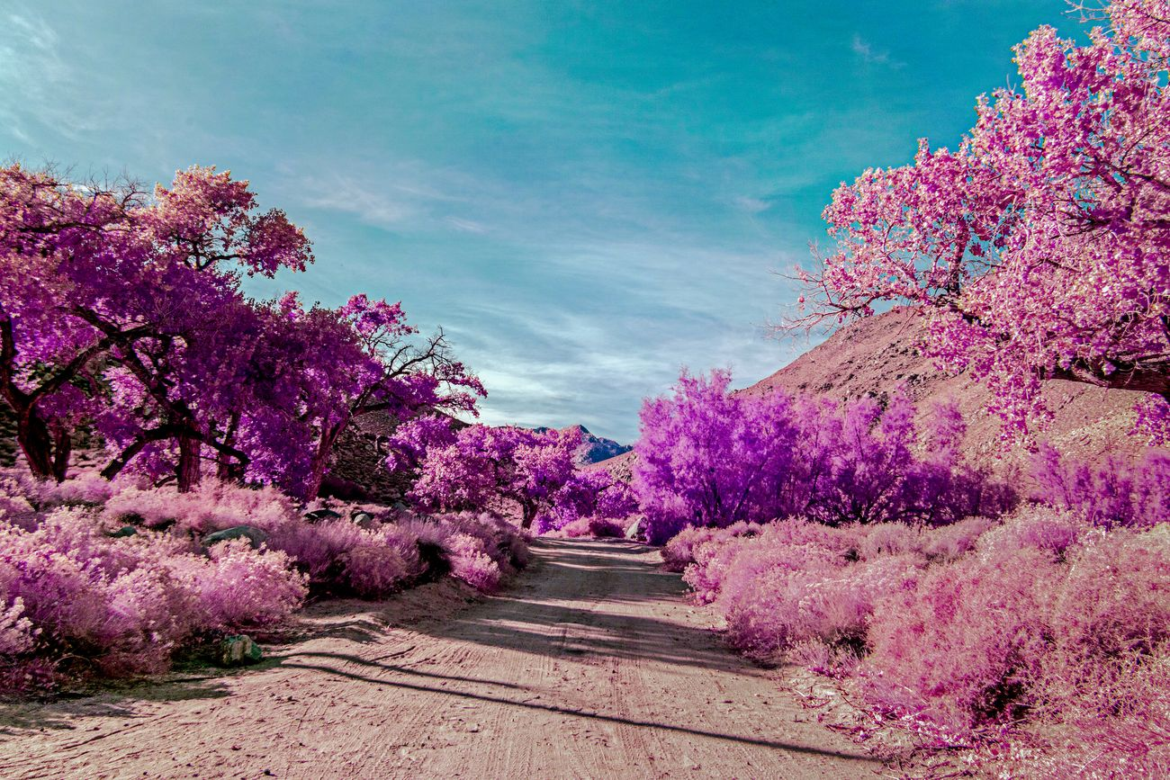 Dirt road leading through trees to mountain beyond under a blue sky. Pink trees and vegetation on both sides of road.