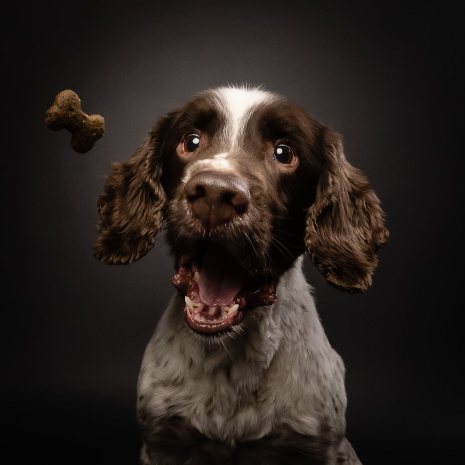 Cocker Spaniel by rupertrussell - Image Of The Month Photo Contest Vol 44