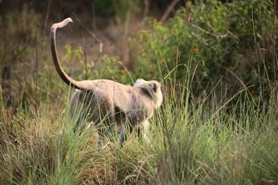 Jungle Gray Langur