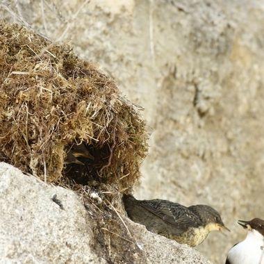 Nido de Mirlo acuatico (Cinclus cinclus). Uno de los pollos, sale del nido para buscar la ceba. El nido habitualmente esta detras de las cascadas de agua, pero tambien puede hacerlo en el exterior ((Debajo de los puentes), como este.