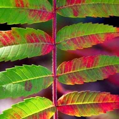 Sumac in Transition