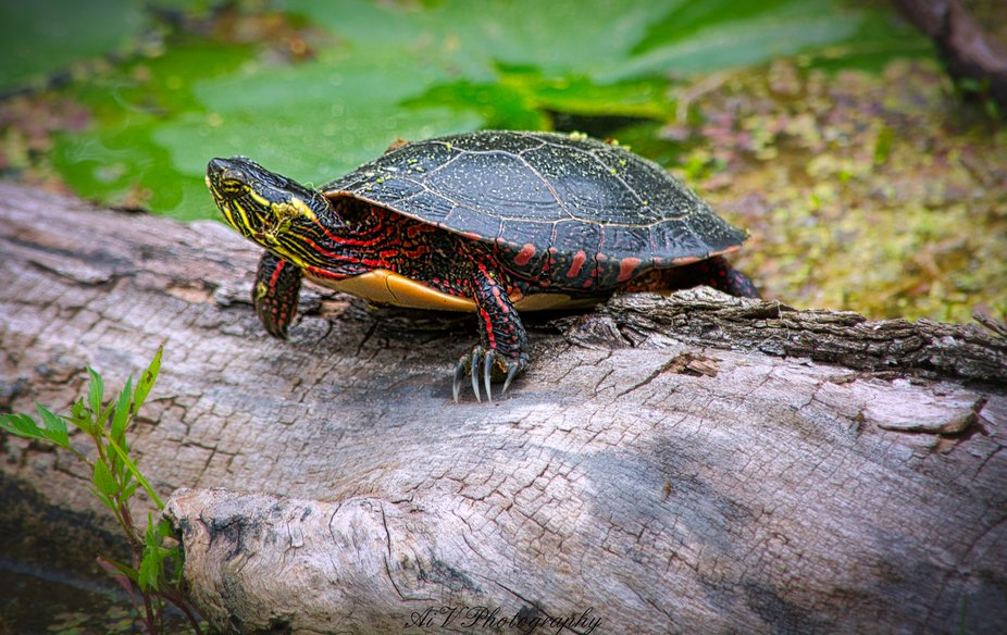 Painted Turtle - Pinery Prov. Park