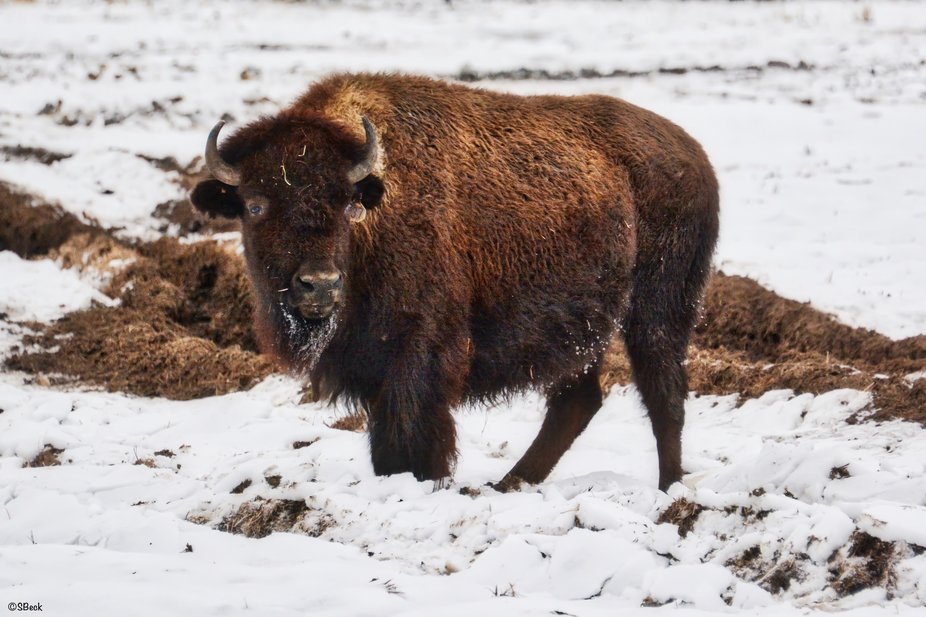 Found this bison on the Kalispell Tribe Reservation, part of their protected and restoration herd...