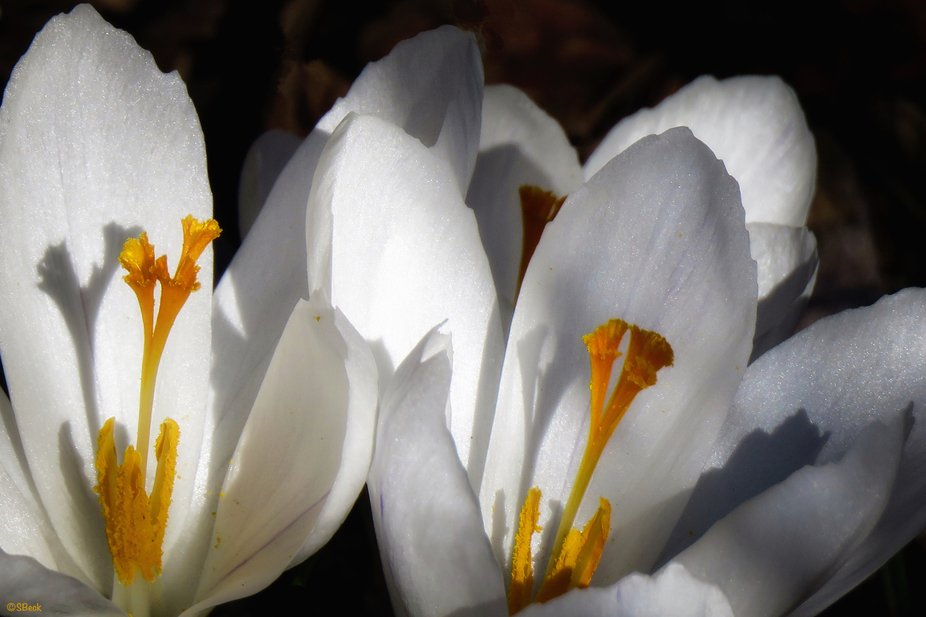 While walking through a city park, I spotted the first crocus of the season in the shade with a s...