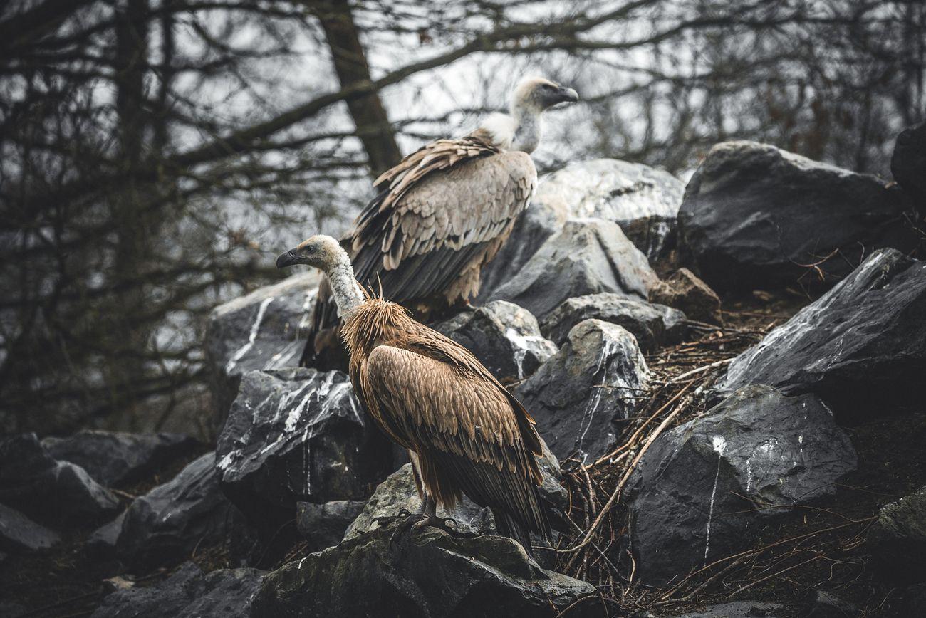 Two vultures in Sainte croix sanctuary.