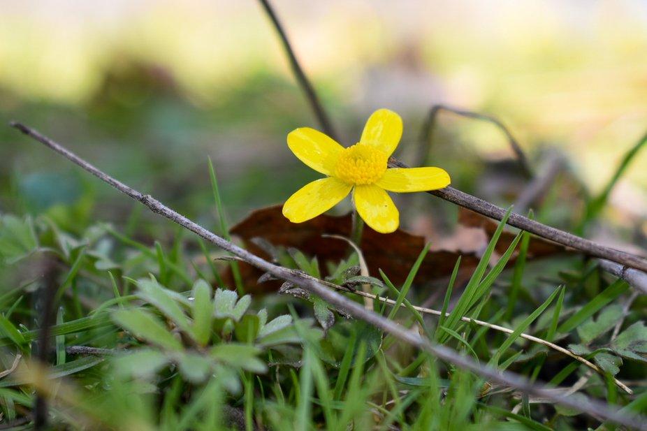 yellow flower, daisy. close up