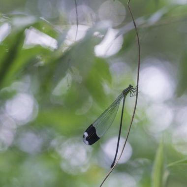 Megaloprepus caerulatus (5 of 5)