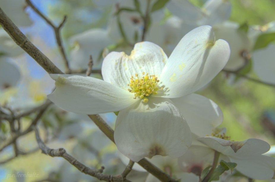 Dogwood Bloom on Easter Sunday
