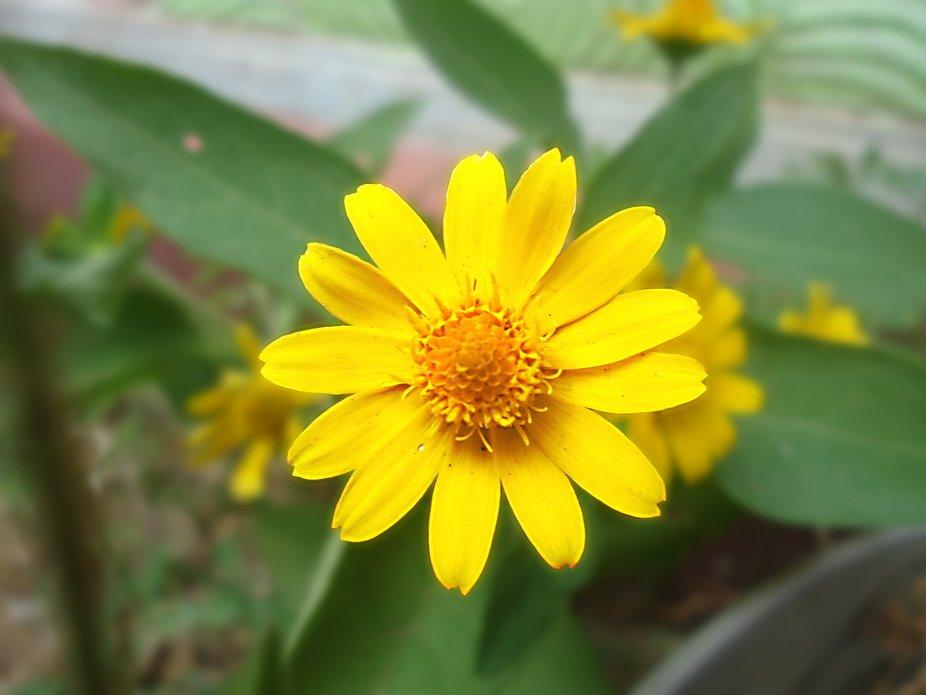 li'l sunflower