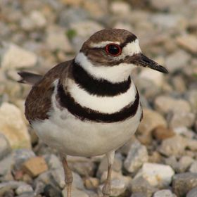 Killdeer. Bird