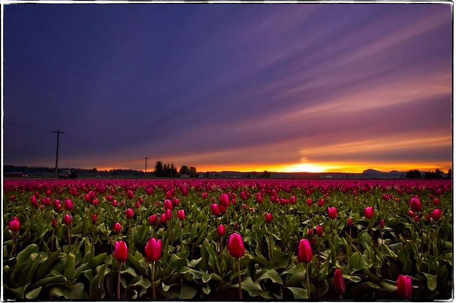 The tulip fields of the Skagit Valley of Washington are in full bloom now. The fields of colors are beautiful throughout the valley...