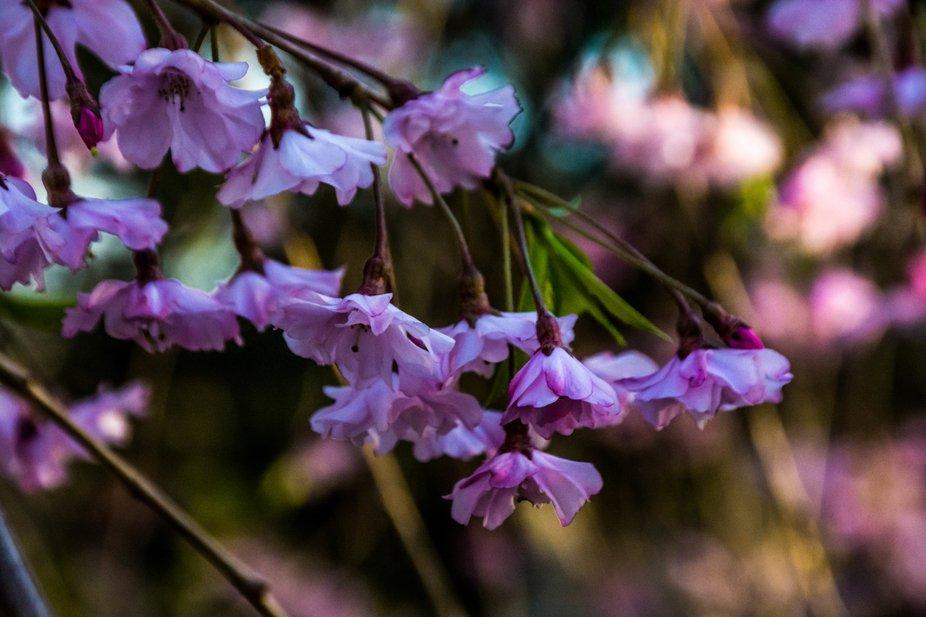 The Spring bloom of ornamental blooming trees in Pennsylvania. 2019
