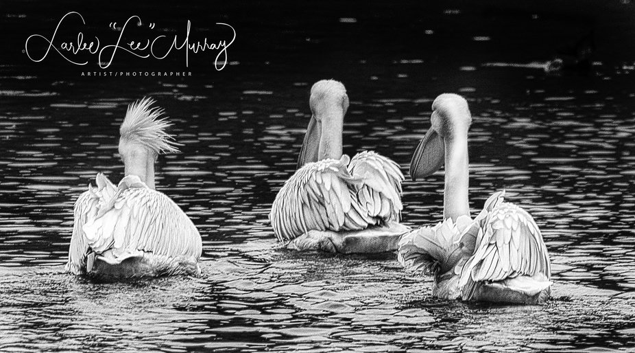 Three White Pelicans in England at the London Park