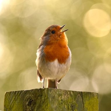Happy singing Robin