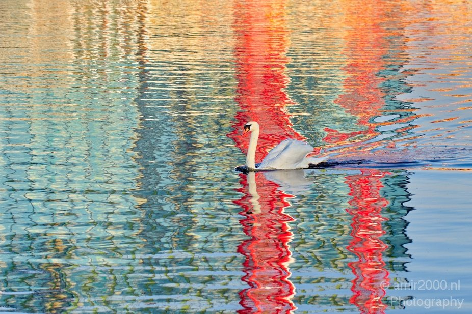 Swan - reflection - Amsterdam canals