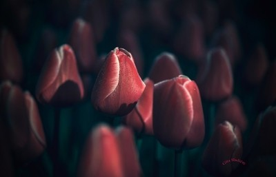 The red Tulip