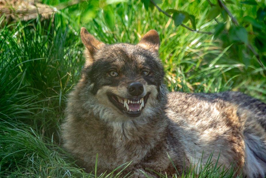 Wolf (Snarl)