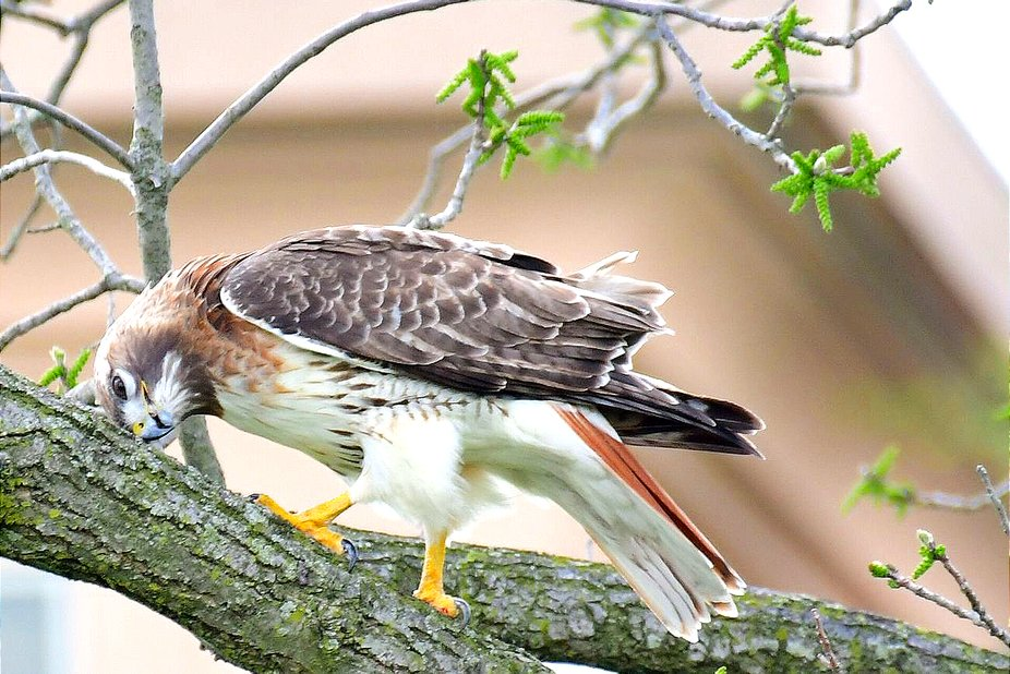 Red tail copy