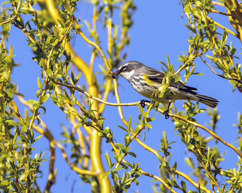 Yellow-rumped Warbler with a Fly