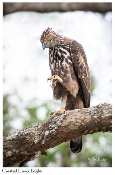 Crested Hawk Eagle !!