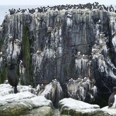 Colonia de cria de las aves marinas en las Islas Farne, entre Inglaterra y Escocia.