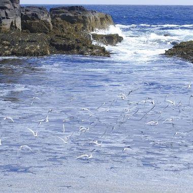 Bando de Charranes articos salen desde una colonia de cria en una ensenada de la isla de May (U.K), en el Mar del Norte, frontera con Escocia.