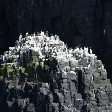 Colonia de cria de aves marinas, en uno de los islotes de la accidentada costa de la isla de May.