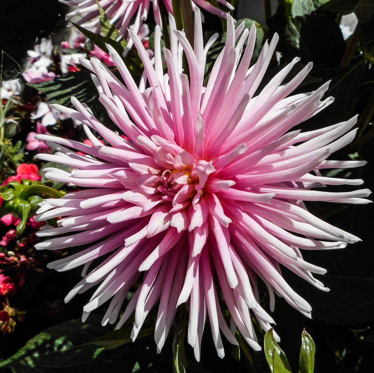 Pink flower3-0037